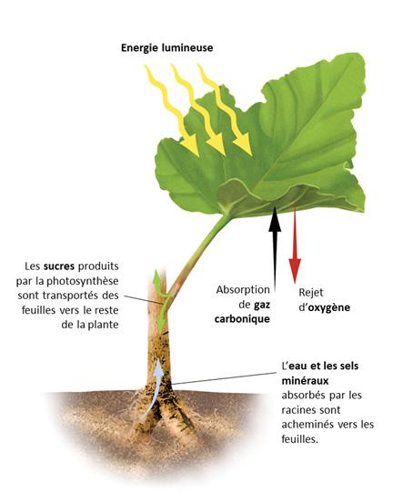 Schéma photosynthèse